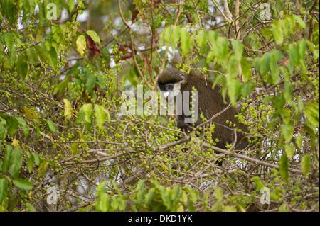 Red-tailed monkey (Cercopithecus ascanius), Mahale Mountains National Park, Tanzania - Stock Photo