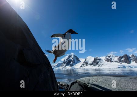 Antarctica, Petermann Island, Gentoo Penguin (Pygoscelis papua) leaping from rock along mountainous shoreline - Stock Photo