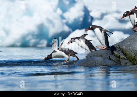 Antarctica, Gentoo Penguins (Pygoscelis papua) - Stock Photo