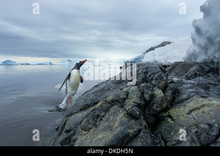 Antarctica, Cuverville Island, Gentoo Penguin (Pygoscelis papua) leaping from water onto rocky shoreline - Stock Photo