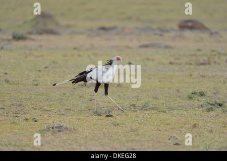 Secretary bird (Sagittarius serpentarius) looking for prey in the grass Masai Mara - Kenya - East Africa - Stock Photo