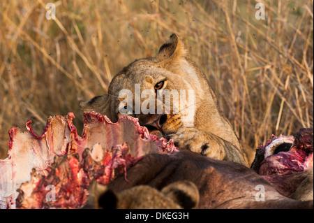 Lioness eating a buffalo in Linyanti area, chobe national park, Botswana - Stock Photo
