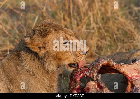 Young lion eating a buffalo in Linyanti area, chobe national park, Botswana - Stock Photo