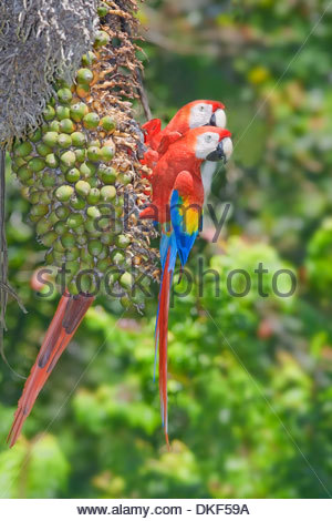 Two perched scarlet macaws (Ara Macao), Corcovado National Park, Costa Rica - Stock Photo