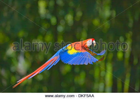 Scarlet macaw (Ara Macao) flying, Corcovado National Park, Costa Rica - Stock Photo