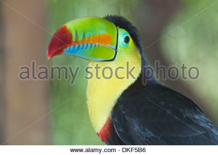 Keel-billed toucan (Ramphastos sulfuratus), San Jose, Costa Rica - Stock Photo