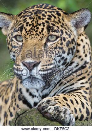 jaguar panthera onca adult male pantanal brazil. Black Bedroom Furniture Sets. Home Design Ideas
