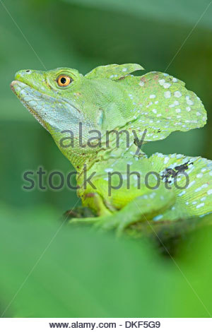 Close up of basilisk lizard (Basiliscus plumifrons), Costa Rica - Stock Photo