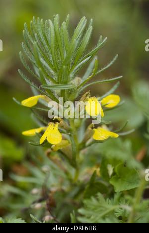 yellow bugle, ajuga chamaepitys - Stock Photo