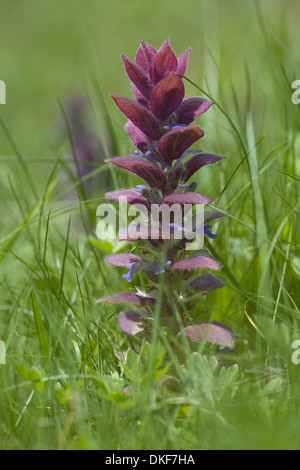 pyramidal bugle, ajuga pyramidalis - Stock Photo