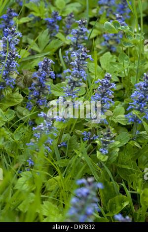 common bugle, ajuga reptans - Stock Photo