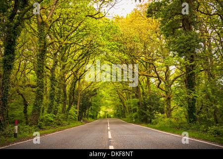 Tree lined road on B2149 manor lodge road in Hampshire, UK - Stock Photo
