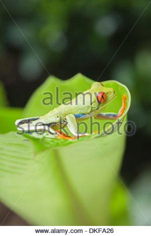 Red-eyed tree frog (Agalychnis callidryas) on edge of leaf, Costa Rica - Stock Photo