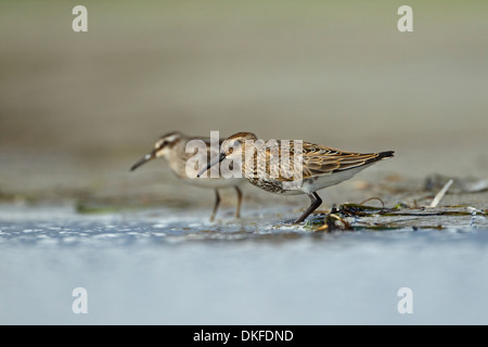 Dunlin (Calidris alpina) and Broad-billed Sandpiper (Limicola falcinellus) - Stock Photo