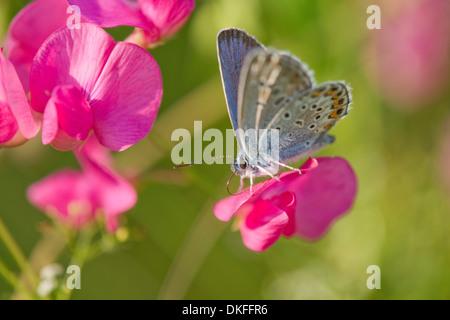 Common Blue (Polyommatus icarus) sucking nectar, Thuringia, Germany - Stock Photo