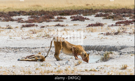 Lioness (Panthera leo) drinking at a waterhole in the Etosha Pan, Etosha National Park, Namibia - Stock Photo