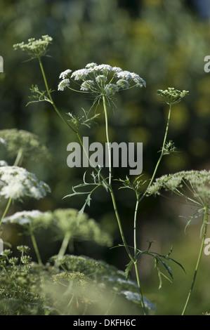 bishop's flower, ammi majus - Stock Photo