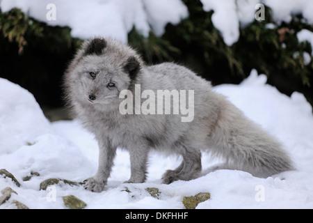 Arctic fox (Vulpes lagopus) standing in snow, captive, Baden-Wuerttemberg, Germany - Stock Photo
