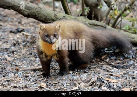 Pine Marten (Martes martes), zoo, Arth Goldau, Switzerland - Stock Photo