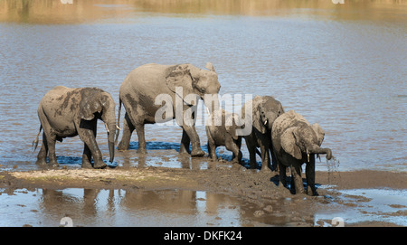 African Elephants (Loxodonta africana) herd drinking and mud-bathing in the Shingwedzi River, Kruger National Park, - Stock Photo