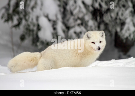 Arctic Wolf (Canis lupus arctos), also called snow wolf or white wolf, a subspecies of the gray wolf, Lapland, Sweden - Stock Photo