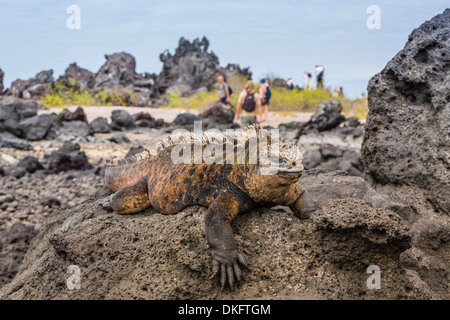 Galapagos marine iguana (Amblyrhynchus cristatus) basking in Urbina Bay, Isabela Island, Galapagos Islands, UNESCO - Stock Photo