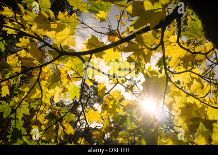 Close up of autumn leaves on tree - Stock Photo