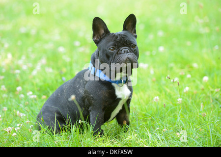 French Bulldog in grass - Stock Photo