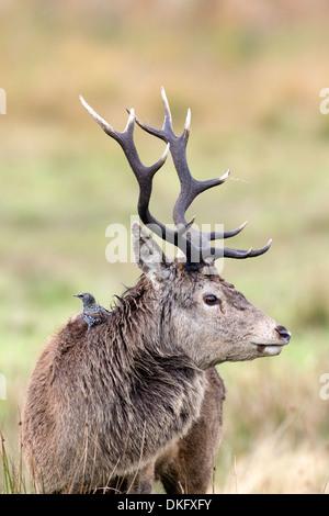 Red deer (Cervus elaphus), Scotland, UK - Stock Photo