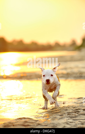 American Staffordshire terrier running on river edge - Stock Photo