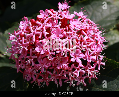 Rose Glory Bower, Cashmere Bouquet, Mexicali Rose, Mexican Hydrangea, Clerodendron bungei, Lamiaceae (Verbenaceae). - Stock Photo
