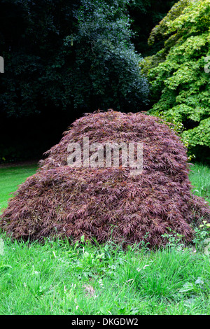 acer palmatum 39 dissectum atropurpureum 39 stock photo. Black Bedroom Furniture Sets. Home Design Ideas