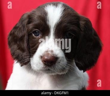 Exceedingly cute liver and white working type english springer spaniel pet gundog puppy - Stock Photo