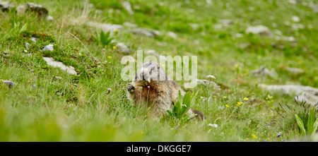 Alpine Marmot (Marmota marmota) near Juf, Grisons, Switzerland - Stock Photo