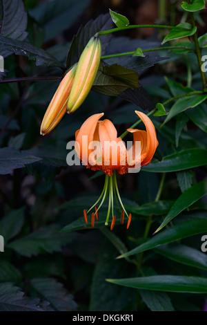 lilium henryi Tiger Lily recurved recurving turks cap orange flowers flowering bloom - Stock Photo