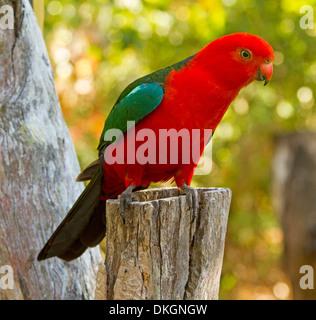 Spectacular photo of brilliant red male king parrot, Alisterus scapularis in the wild on tree stump in Queensland Australia