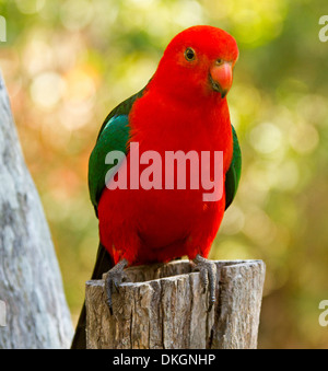 Spectacular frontal shot of brilliant red male king parrot, Alisterus scapularis in the wild on tree stump in Queensland Australia