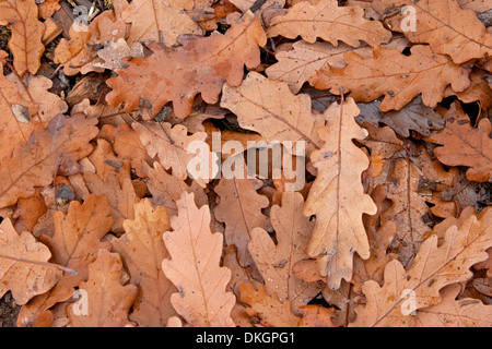 Cluster of fallen brown oak leaves  - Quercus species - in autumn / winter / fall - Stock Photo