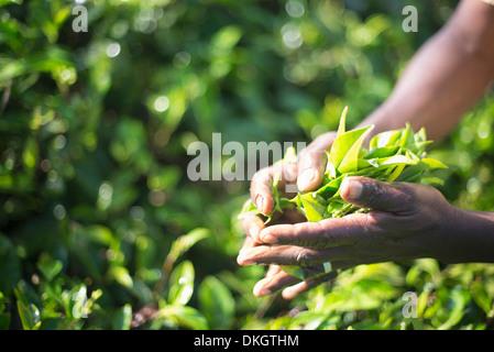 Hands of a tea picker picking tea in the Sri Lanka Central Highlands, Tea Country, Sri Lanka, Asia - Stock Photo