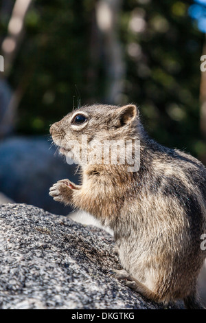 An adult golden-mantled ground squirrel (Callospermophilus lateralis), Rocky Mountain National Park, Colorado, USA - Stock Photo