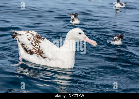 Wandering albatross (Diomedea exulans) in calm seas off Kaikoura, South Island, New Zealand, Pacific - Stock Photo