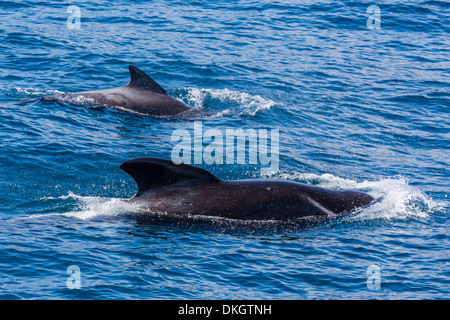 Adult female and male long-finned pilot whales (Globicephala melas), offshore near Doubtful Sound, South Island, - Stock Photo