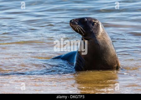 Adult New Zealand (Hooker's) sea lion (Phocarctos hookeri), Ulva Island, off Stewart Island, South Island, New Zealand, - Stock Photo