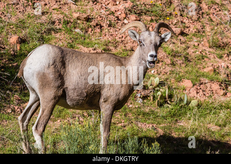 Adult desert bighorn sheep (Ovis canadensis), Zion National Park, Utah, United States of America, North America - Stock Photo