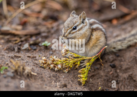 An adult golden-mantled ground squirrel (Callospermophilus lateralis), feeding in Yellowstone National Park, Wyoming, - Stock Photo