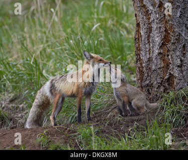 Red fox (Vulpes vulpes) (Vulpes fulva) kit licking its father's mouth, Yellowstone National Park, Wyoming, USA - Stock Photo
