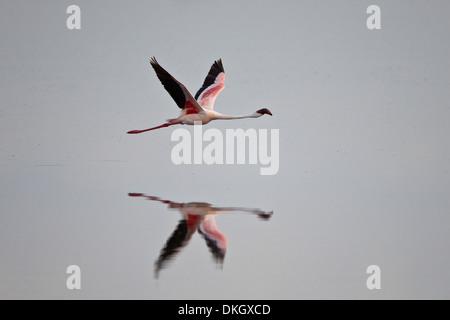 Lesser flamingo (Phoeniconaias minor) in flight, Serengeti National Park, Tanzania, East Africa, Africa - Stock Photo