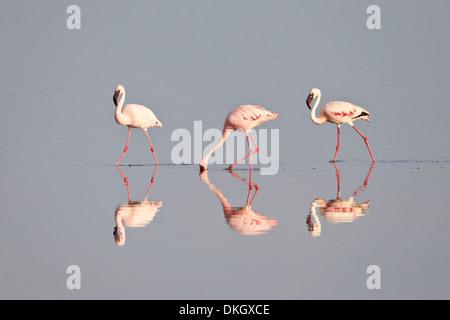 Line of lesser flamingo (Phoeniconaias minor), Serengeti National Park, Tanzania, East Africa, Africa - Stock Photo