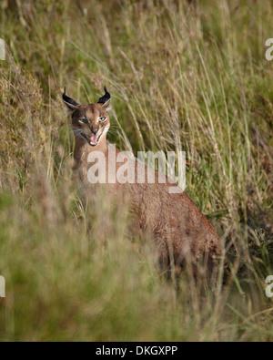 Caracal (Caracal caracal) calling her cub, Serengeti National Park, Tanzania, East Africa, Africa - Stock Photo