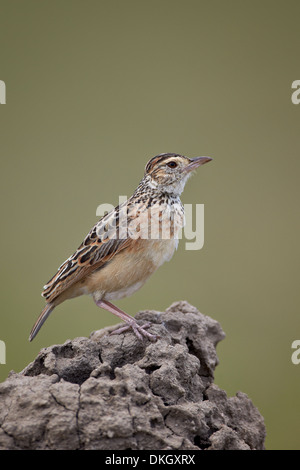 Rufous-naped lark (Mirafra africana), Serengeti National Park, Tanzania, East Africa, Africa - Stock Photo